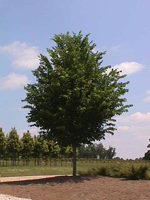 Landscaping Under Elm Trees : American princeton elm shade trees home garden landscapes