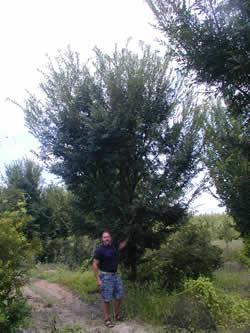 Bosque Elm Image