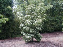 Kousa Dogwood Image