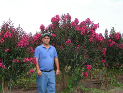 Pink Velour Crape Myrtle Image