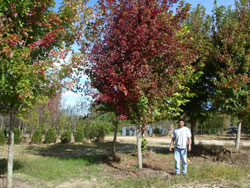 Red Maple October Glory Image