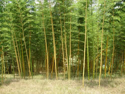 Vivax Timber Bamboo Image