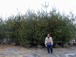 Eastern White Pine Image