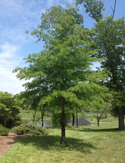 Willow Oak Image