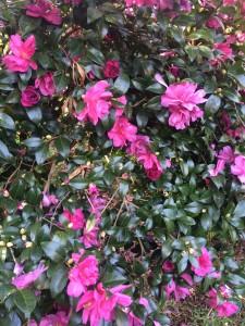 Camellia-Sasanqua-Blooms