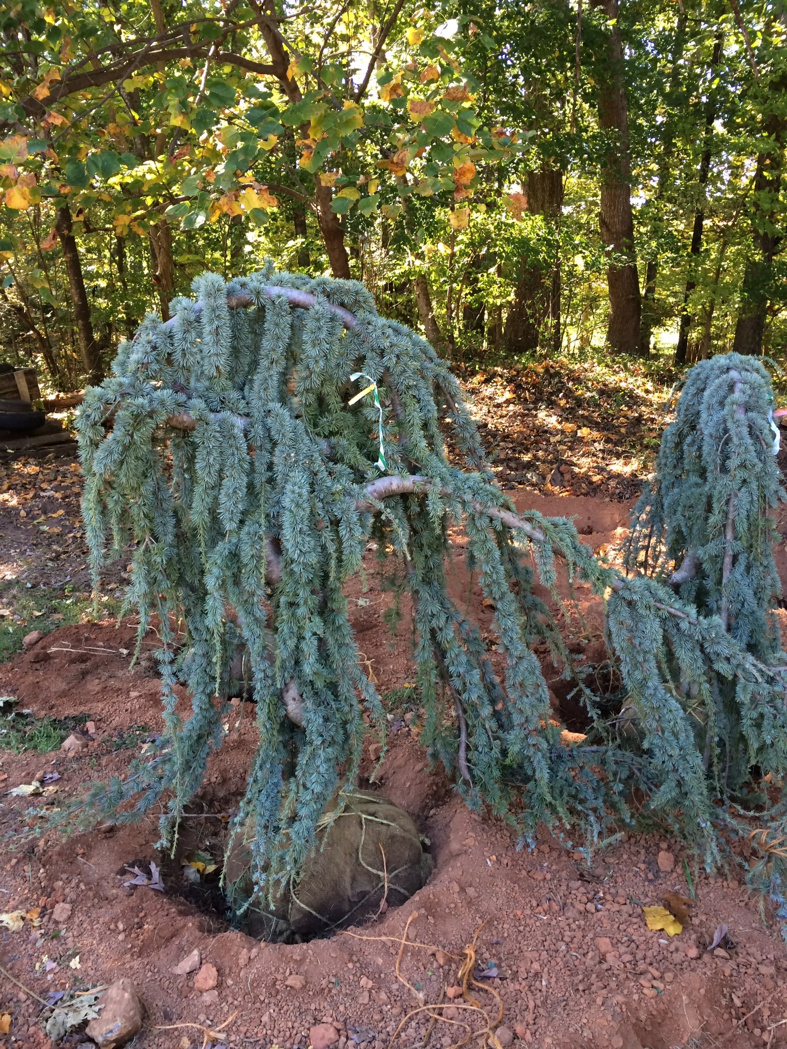Weeping Blue Atlas Cedar Image