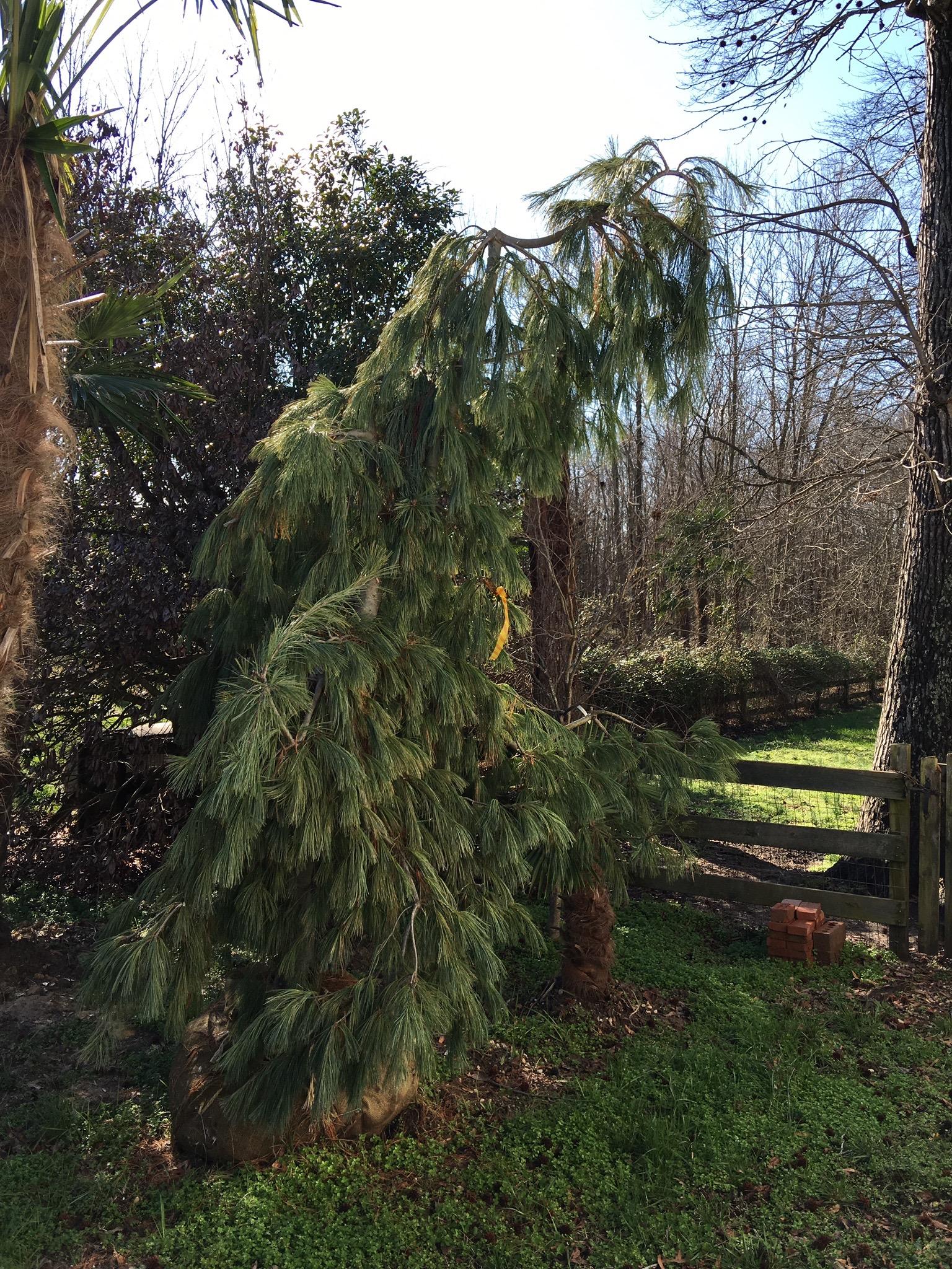 Weeping White Pine Image